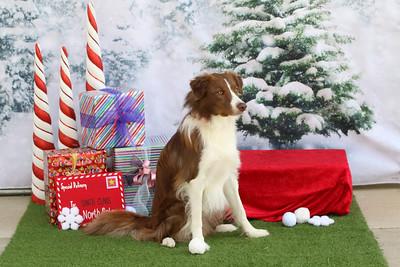 11-4-2018 Border Terrier-0540