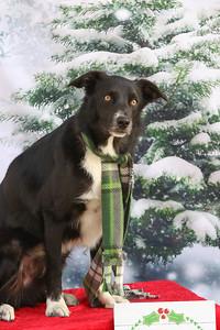 11-4-2018 Border Terrier-0799