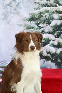 11-4-2018 Border Terrier-0542