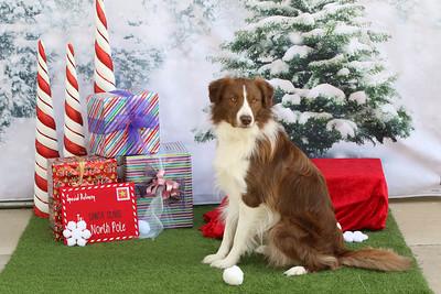 11-4-2018 Border Terrier-0548