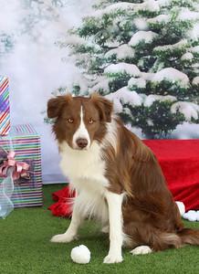 11-4-2018 Border Terrier-0555