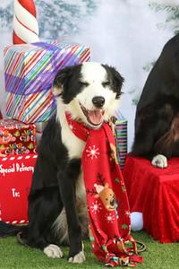 11-4-2018 Border Terrier-0796