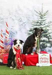 11-4-2018 Border Terrier-0793