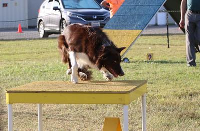 11-4-2018 Border Terrier-2554