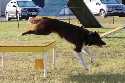 11-4-2018 Border Terrier-2557