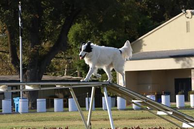 11-4-2018 Border Terrier-2559