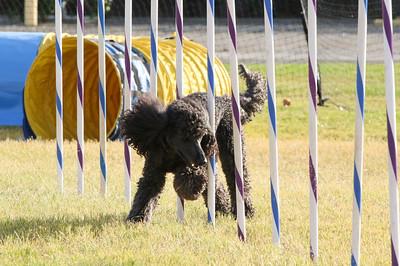 11-4-2018 Border Terrier-2312