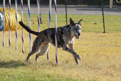 11-4-2018 Border Terrier-2360