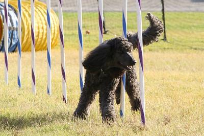 11-4-2018 Border Terrier-2318