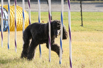 11-4-2018 Border Terrier-2316
