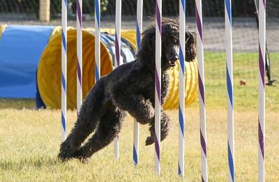 11-4-2018 Border Terrier-2302
