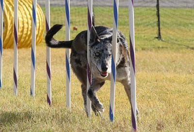 11-4-2018 Border Terrier-2358