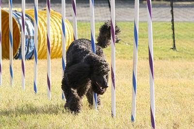 11-4-2018 Border Terrier-2315