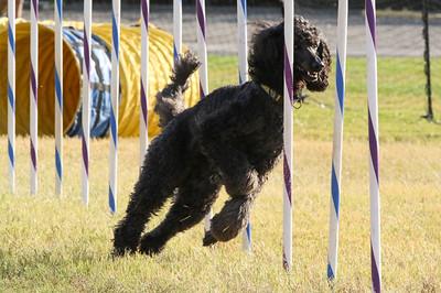 11-4-2018 Border Terrier-2307