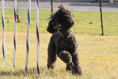 11-4-2018 Border Terrier-2309