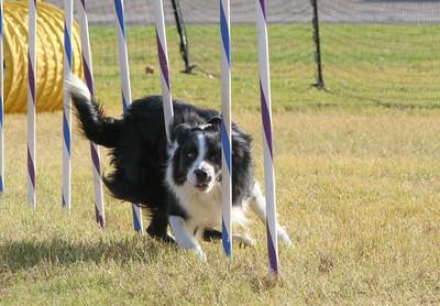 11-4-2018 Border Terrier-2375