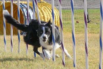 11-4-2018 Border Terrier-2371