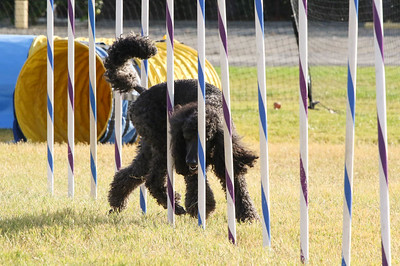 11-4-2018 Border Terrier-2311