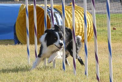 11-4-2018 Border Terrier-2369