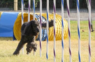 11-4-2018 Border Terrier-2300
