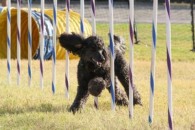 11-4-2018 Border Terrier-2306