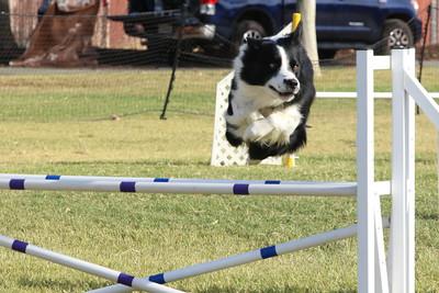 11-4-2018 Border Terrier-2362