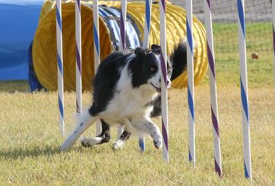 11-4-2018 Border Terrier-2370