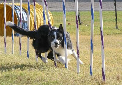 11-4-2018 Border Terrier-2373