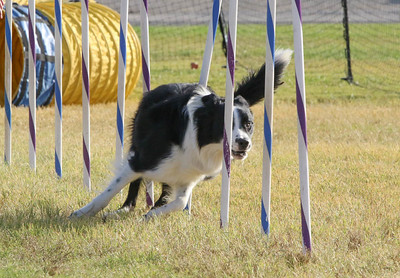11-4-2018 Border Terrier-2374
