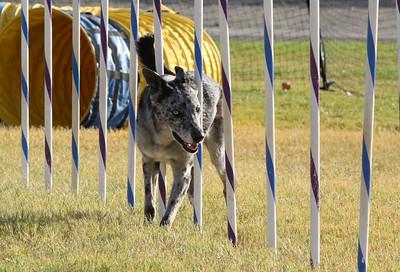 11-4-2018 Border Terrier-2353