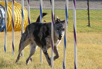 11-4-2018 Border Terrier-2357