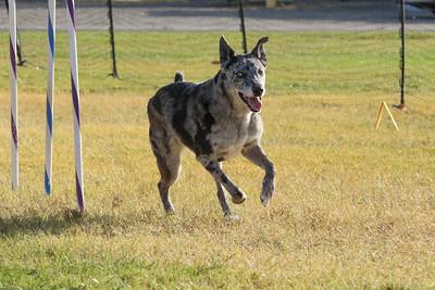 11-4-2018 Border Terrier-2361