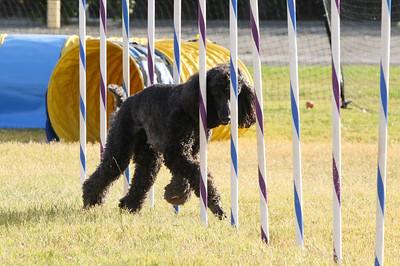 11-4-2018 Border Terrier-2310
