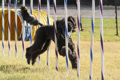11-4-2018 Border Terrier-2305