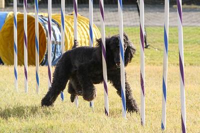 11-4-2018 Border Terrier-2313