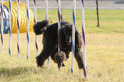11-4-2018 Border Terrier-2317