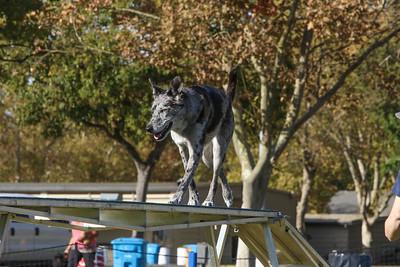 11-4-2018 Border Terrier-2228
