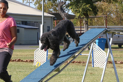 11-4-2018 Border Terrier-2170
