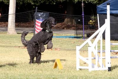 11-4-2018 Border Terrier-2173