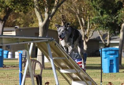 11-4-2018 Border Terrier-2226