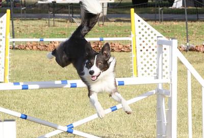 11-4-2018 Border Terrier-0285