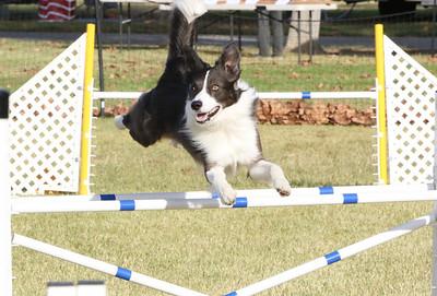 11-4-2018 Border Terrier-0284