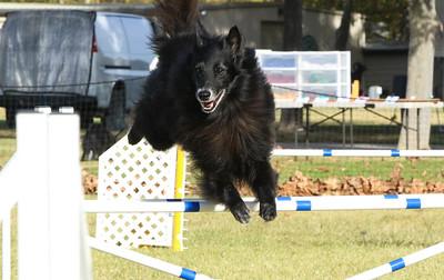 11-4-2018 Border Terrier-0331