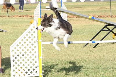 11-4-2018 Border Terrier-0280