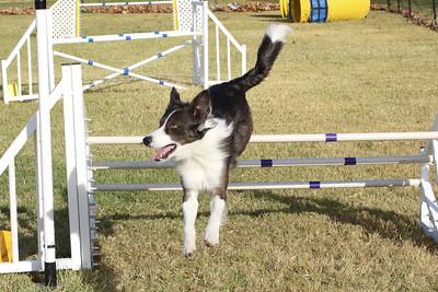11-4-2018 Border Terrier-0289