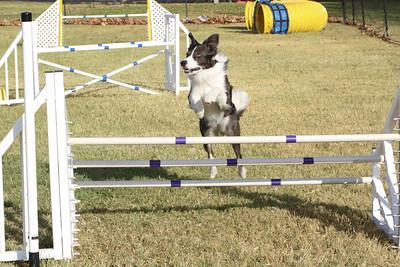 11-4-2018 Border Terrier-0286