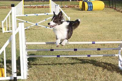 11-4-2018 Border Terrier-0288