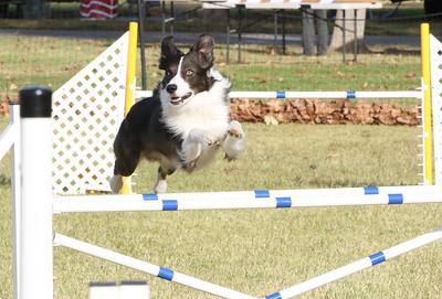 11-4-2018 Border Terrier-0283
