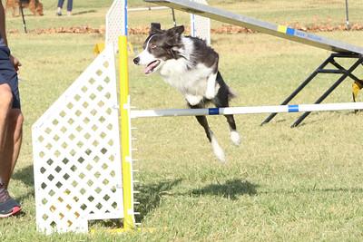 11-4-2018 Border Terrier-0279