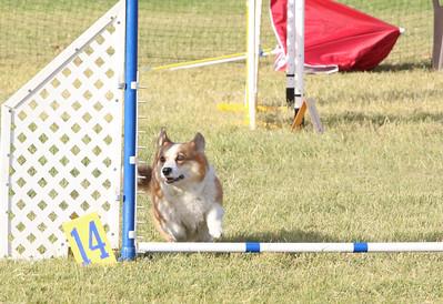11-4-2018 Border Terrier-0224